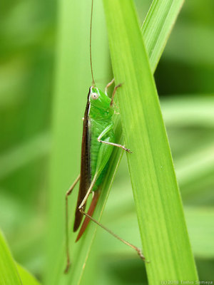 ホシササキリの雌・成虫