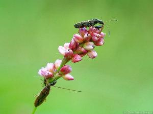 イヌタデの花に止まるカメムシ
