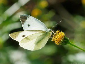 綺麗な翅のモンシロチョウ
