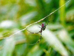 壊れた網に止まるジョロウグモ