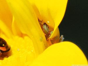 花に潜むアブラムシの群れ