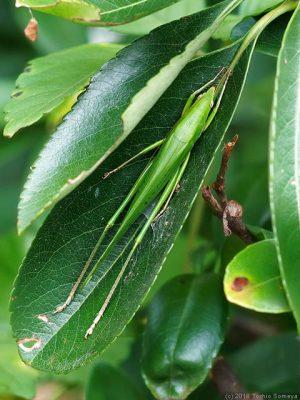 緑の葉に潜むクビキリギス