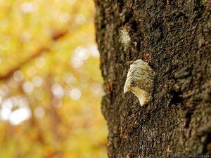 サクラの幹で見たハラビロカマキリの卵のう