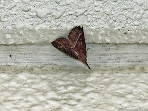 某所の室内壁に止まる蛾の一種