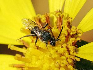 ツワブキの花にいたハチ