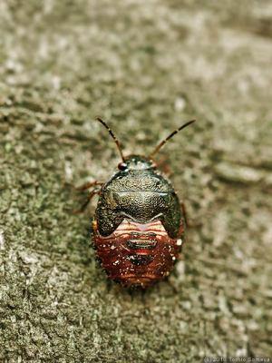 イチモンジカメムシの幼虫(推定)