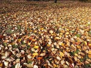 サクラの葉の絨毯が・・