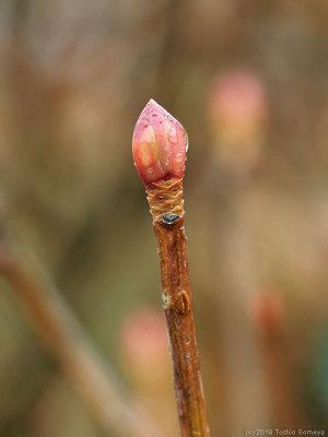 トウダンツツジの冬芽
