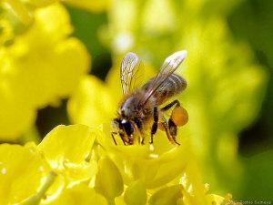 ナノハナで吸蜜するミツバチ