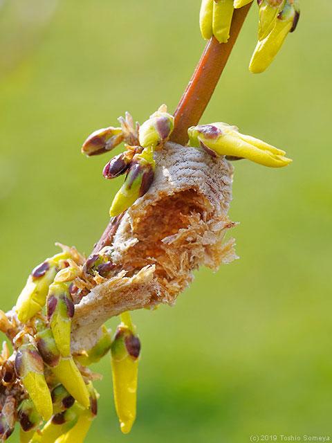 破壊されたチョウセンカマキリの卵のう