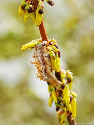 レンギョウの枝にあるチョウセンカマキリの卵のう