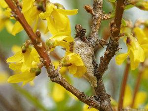 レンギョウの花とカマキリの卵のう