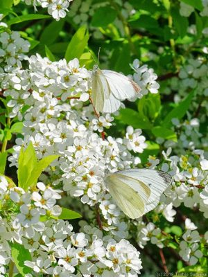 ユキヤナギの花に止まるモンシロチョウ