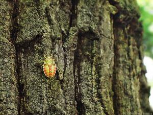 クヌギカメムシの幼虫