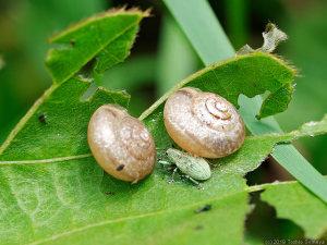 クズの葉上にいたカタツムリとコフキゾウムシ
