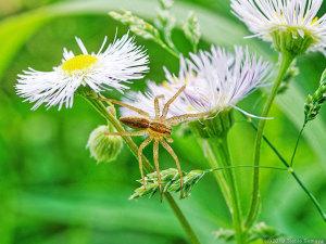 野の花で待ち伏せをするクモ