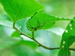 葉裏に逃げ込むハエトリグモ