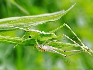 キリギリス幼虫の脱皮シーン