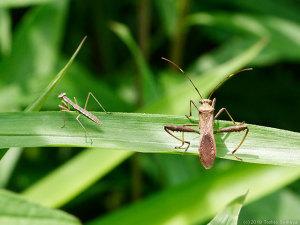 オオカマキリ幼虫とホソヘリカメムシ