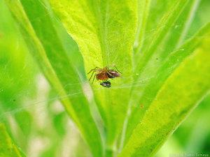 蜘蛛の幼体、獲物をゲット!