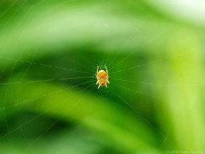 網の中心にいた超小型の蜘蛛