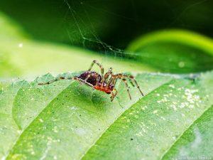 葉っぱの上に浮遊するクサグモの幼体
