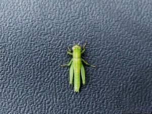 イナゴの若齢幼虫
