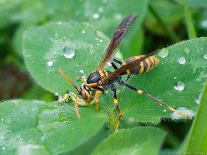 イモムシを捕獲したアシナガバチ