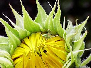 ヒマワリの花にいたハラビロカマキリ幼虫
