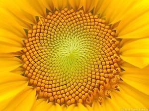 ヒマワリの花の中心部
