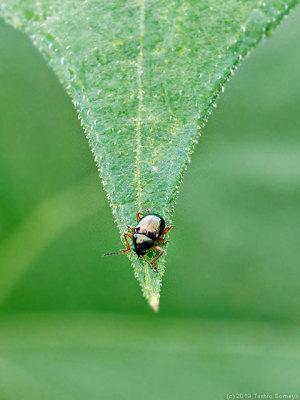 超小型の甲虫