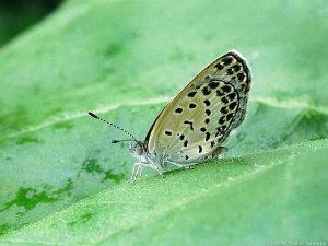 雨の止み間のシジミ蝶