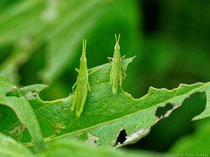 オンブバッタ幼虫のペアー