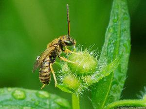 水滴を飲んでる(?)ハチ