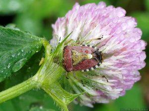 雨に打たれるブチヒゲカメムシ