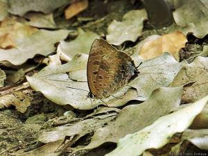 林間で翅休めするムラサキツバメ