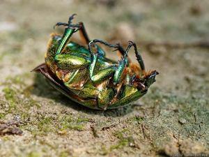 息絶えた甲虫