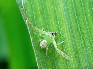 アリを捕らえたコハナグモ