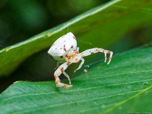 白色タイプのアズチグモ