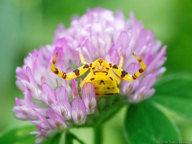 目立ち過ぎのアズチグモ