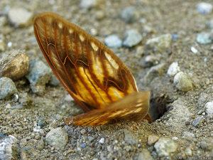 アリの巣穴入り口に放置されたセミの翅