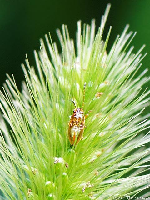 エノコログサに止まるヒゲナガカメムシ幼虫