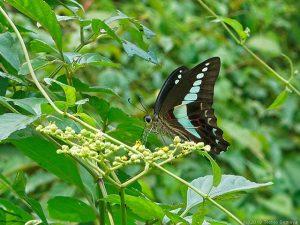 ヤブガラシの花で吸蜜するアオスジアゲハ