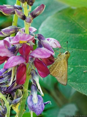 クズの花で吸蜜するチャバネセセリ