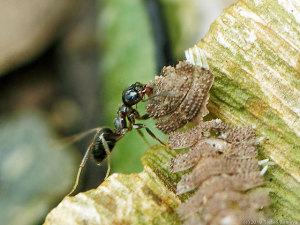 大物食材を運搬中のアリ