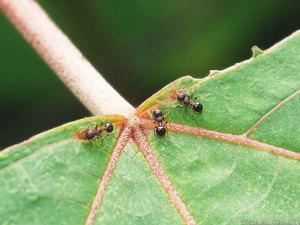 アカメガシワの葉で吸蜜するアリ