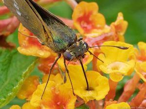 ランタナの花で吸蜜するイチモンジセセリ