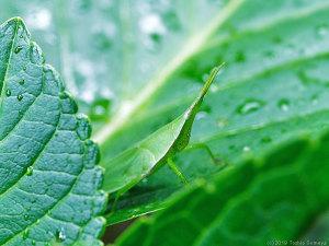 雨滴を宿す葉上にいたオンブバッタ