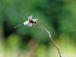 折れ枝にとまるノシメトンボ