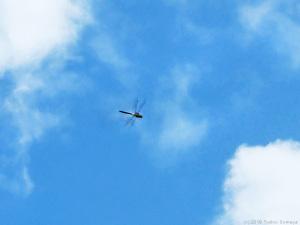 悠々と飛ぶギンヤンマ